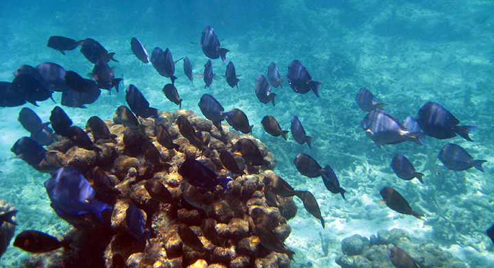 Blue Tang move on in unison after feeding on Lobos reef behind Icacos