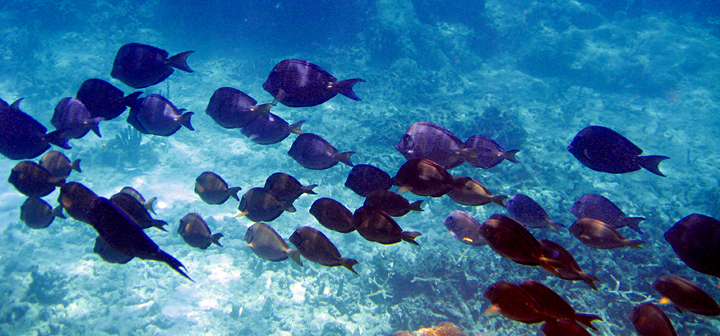 school of blue tang fish on a cribbean reef