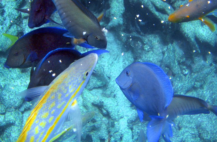 Caribbean reef fish eating oats