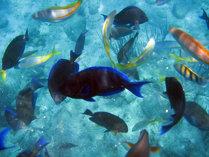 Blue Tang, Yellow Tails , Sargeat Majors and every other Caribbean reef fish imaginable