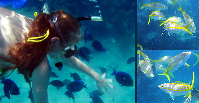 snorkeling with blue tang and yellowtail