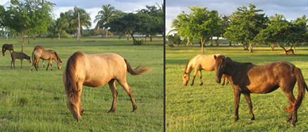 The herd of horses at Sombe Beach in Vieques