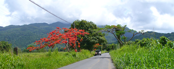 flamboyant tree east end puerto rico