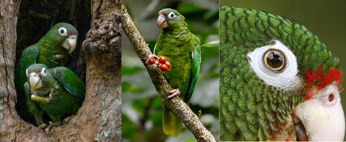 Endemic puerto rican parrot