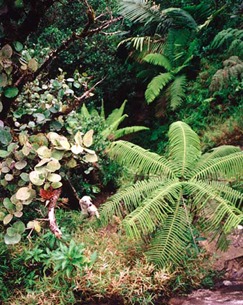 Giant tree ferns in the dwarf forest atop the rain forest