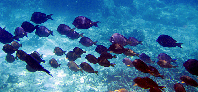 School of blue tang