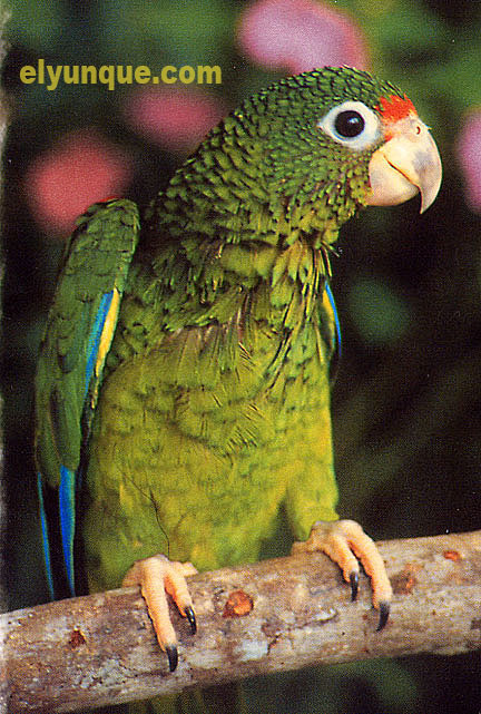 Puerto Rican Parrot Amazona Vittata endangered species