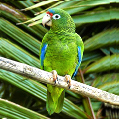 Endangered Puerto RIcan parrot and PR birds