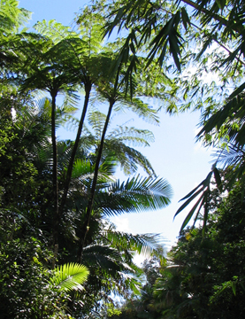 Giant Tree ferns are prevalent in the rainforest