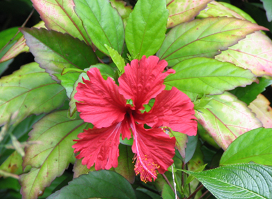 Hibiscus flowers were planted in the rainforest