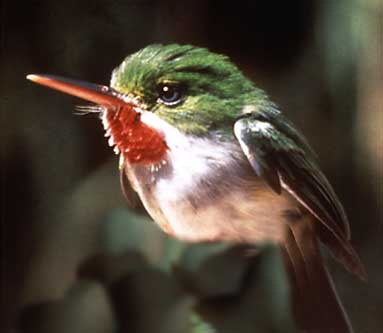 San Pedrito is the local name for the tody bird found in Puerto Rico