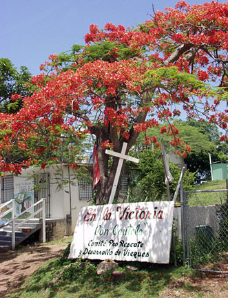 flamboyan tree on vieques island