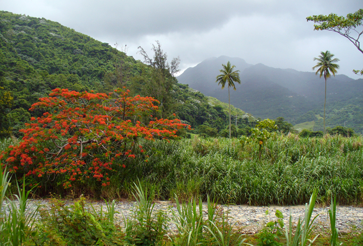 Flamboyan trees are spectacular in June and July in Puerto Rico
