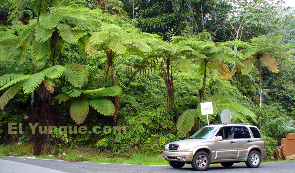 giant tree ferns in the forests of puerto Rico