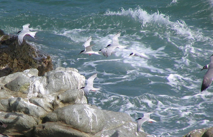 Terns off the rocks of Maunabo